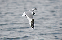 Sabine's Gull - Larus sabini