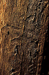 Mountain Pine Beetle galleries