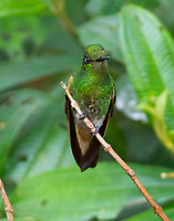 Male buff-tailed coronet