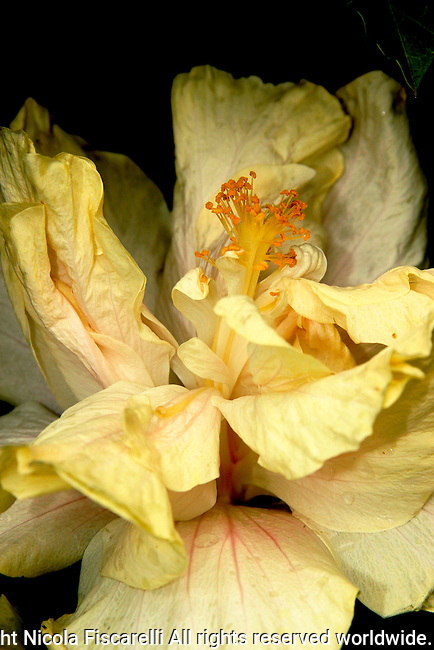A close-up of a double yellow hibiscus flower, from the Puerto Vallarta Botanical Garden Mexico.
