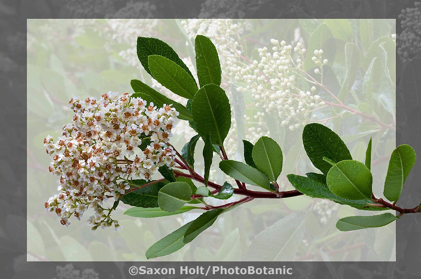PhotoBotanic Extraction - Heteromeles arbutifolia 'Davis Gold' (Davis Gold Toyon) - A selection of the California native evergreen shrub - spring flowering branch