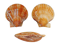Queen Scallop - Aequipecten opercularis
