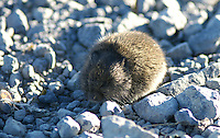 Vole - Oregon