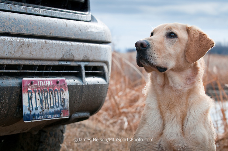 A yellow Labrador retriever sits inext to a personalized license plate (i.e., RIVRDOG) in southeast Idaho.