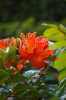 A close-up of a brilliant orange African tulip tree blossom, Hawai'i.