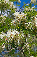Robinie, Gewöhnliche Scheinakazie, Schein-Akazie, Falsche Akazie, Robinia pseudoacacia, False Acacia, Black Locust, Robinia, Le Robinier faux-acacia, Acacia