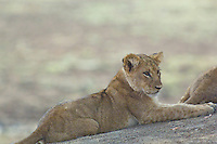 LIon Cub hanging out in the Okavango Delta, Botswana Africa,