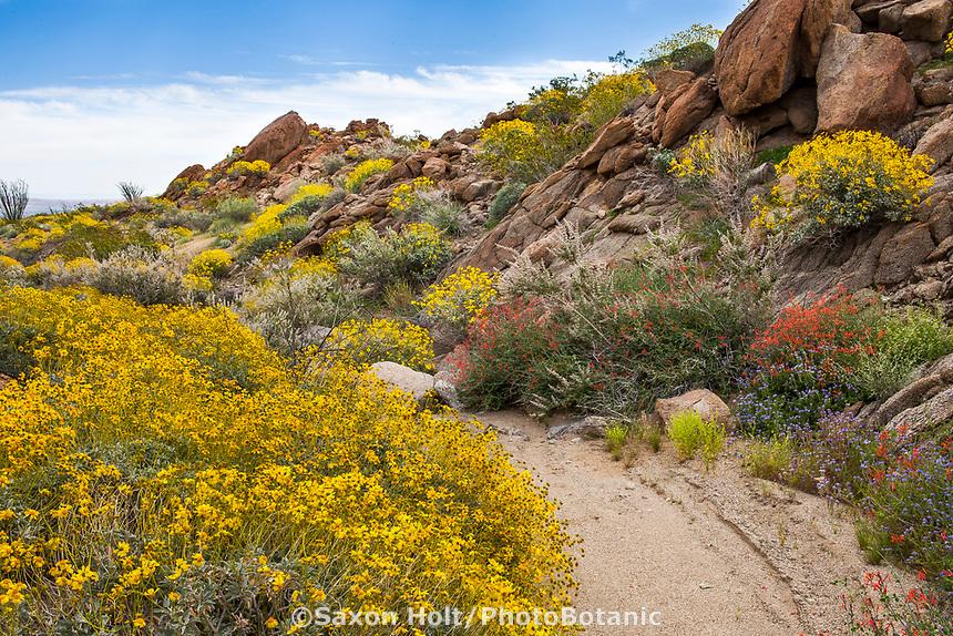 Nature's garden in Sonoran Desert at Anza Borrego California State Park natural gravel path with Yellow flowering Encelia farinosa, Brittlebush, Beloperone californica or Justicia californica -Chuparosa and rock outcrops