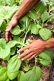 INDONESIA, Mentawai Islands, Kandui Surf Resort, close-up of human hands with organic vegetables