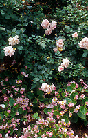 Rosa 'Bonica'  Shrub Rose also known as 'Meidomonac' pink with pink Begonia sempervirens wax annuals
