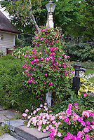 Petunias and Dahlias and Clematis vine, annuals and perennials together in pink color theme garden use, with buxus, old fashioned water pump, hostas in bloom, house, stone wall, lamp post