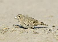 Ashy-crowned Sparrow-lark- Eremopterix griseus