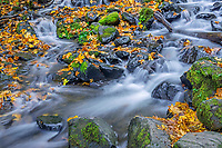 ORCG_D236 - USA, Oregon, Columbia River Gorge National Scenic Area, Starvation Creek State Park, Starvation Creek in autumn with fallen maple leaves, dark volcanic rocks and moss.