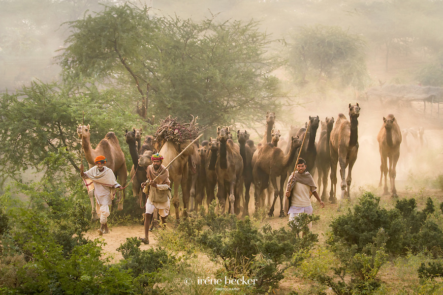 Herd of camels arrive at the Pushkar fair grounds. Rajasthan, India.