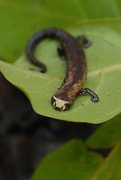 Bolitoglossa paraensis - a qual esta restrita a região de Belém e não mais a Amazônia como um todo.<br /> salamandra Bolitogrossa paraensis.<br /> <br /> Belém, Pará, Brasil.<br /> Foto Paulo Santos<br /> 31/05/2007