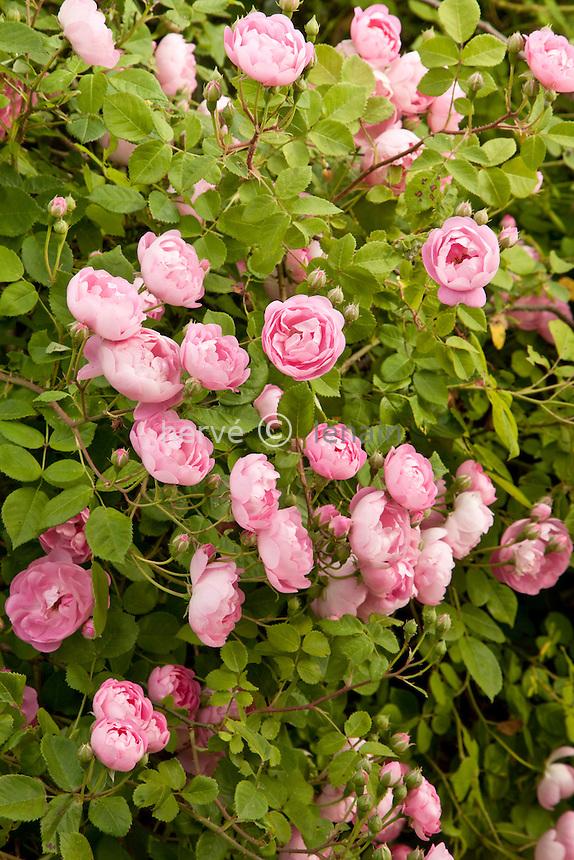 Roses 'Raubritter', Rosa 'Raubritter'.