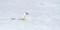 Stoat (Mustela erminea) in winter in snow, Bavaria, Germany, Europe