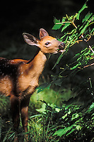 White-tailed Deer doe grazing on tree leaves.  Great Lakes region.  Summer.