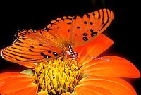 341850024 a captive brilliantly colored gulf fritillary butterfly agrualis vanillae sits on a flower in a butterfly garden in southern california