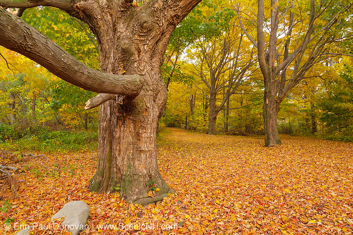 Maple trees along a walking path in Odiorne Point State Park / Fort Dearborn in Rye, New Hampshire USA during the autumn months