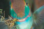 Blue Heron Bridge Macro, Rainbow Parrotfish, Scarus guacamaia