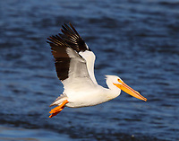 American white pelican feeding in Arkansas River below Kerr dam