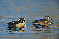 Wood Ducks, male and female swimming, Dividing Creek, New Jersey