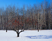 Winter light on an apple tree with fruit in an orchard near Ellison Bay; Door County, WI