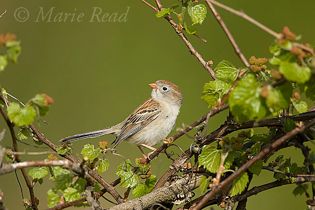 Field Sparrow (Spizella pusilla) male perched amid wild grape (Vitus sp.) in spring, Wayne County, New York, USA