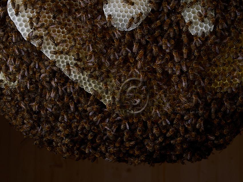 On the combs of a natural colony, the bees form a bunch around the combs to maintain a constant temperature of 35&deg;.<br /> Sur les rayons d&rsquo;une colonie naturelle, les abeilles se forment en grappe autour des rayons pour maintenir une temp&eacute;rature constante de 35&deg;.