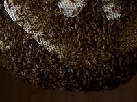 On the combs of a natural colony, the bees form a bunch around the combs to maintain a constant temperature of 35°.<br /> Sur les rayons d'une colonie naturelle, les abeilles se forment en grappe autour des rayons pour maintenir une température constante de 35°.