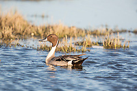 Male northern pintail duck swims on a wetland pond on Alaska's arctic north slope.