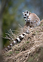 16/05/16<br /> <br /> &quot;Can I have a cuddle please&quot;<br /> <br /> Three baby ring-tail lemurs began climbing lessons for the first time today. The four-week-old babies, born days apart from one another, were reluctant to leave their mothers&rsquo; backs to start with but after encouragement from their doting parents they were soon scaling rocks and trees in their enclosure. One of the youngsters even swung from a branch one-handed, at Peak Wildlife Park in the Staffordshire Peak District. The lesson was brief and the adorable babies soon returned to their mums for snacks and cuddles in the sunshine.<br /> All Rights Reserved F Stop Press Ltd +44 (0)1335 418365