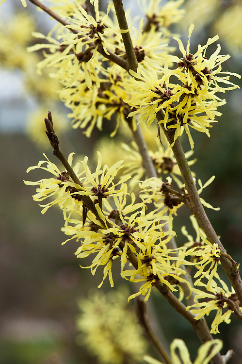 Witch hazel (Hamamelis x intermedia 'Angelly'), early March.