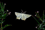 Swallowtailed Moth, Ourapteryx sambucaria, in flight, high speed photographic technique, flying, night, twisted wing shape.United Kingdom....