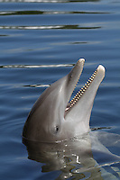 Atlantic Bottlenose Dolphin, Tursiops truncatus, (Captive)