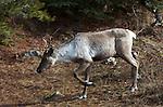 Mountain caribou near Wells, B.C.