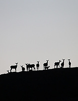 Elk stand on a ridge line at the end of the day.