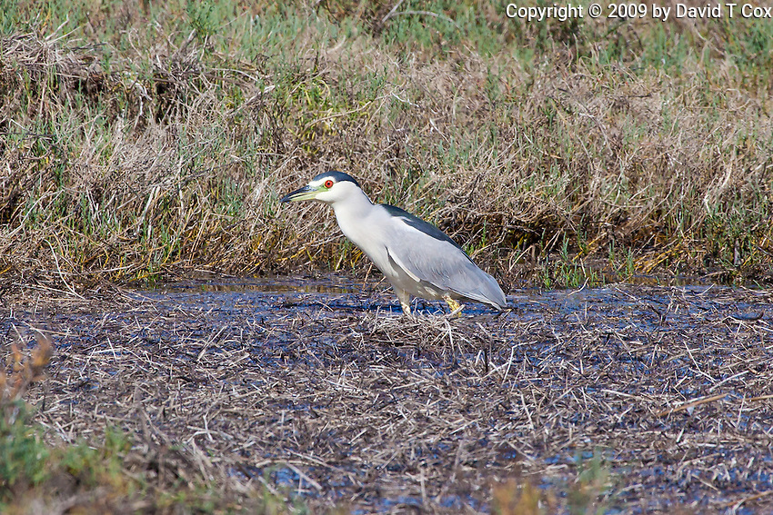 Black-Crowned Night-Heron, Guerrero Negro, Baja Sur, Mexico