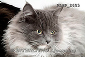Marek, ANIMALS, REALISTISCHE TIERE, ANIMALES REALISTICOS, cats, photos+++++,PLMP2605,#a#