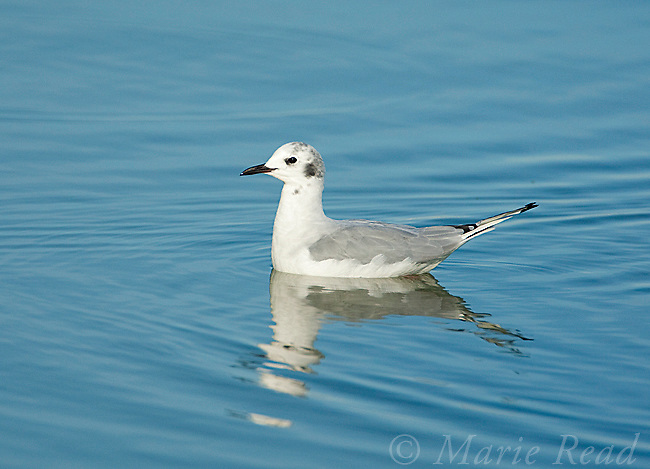 Bonaparte's Gull (Larus philadelphia), East Harbor State Pk, Lake Erie, Ohio, USA