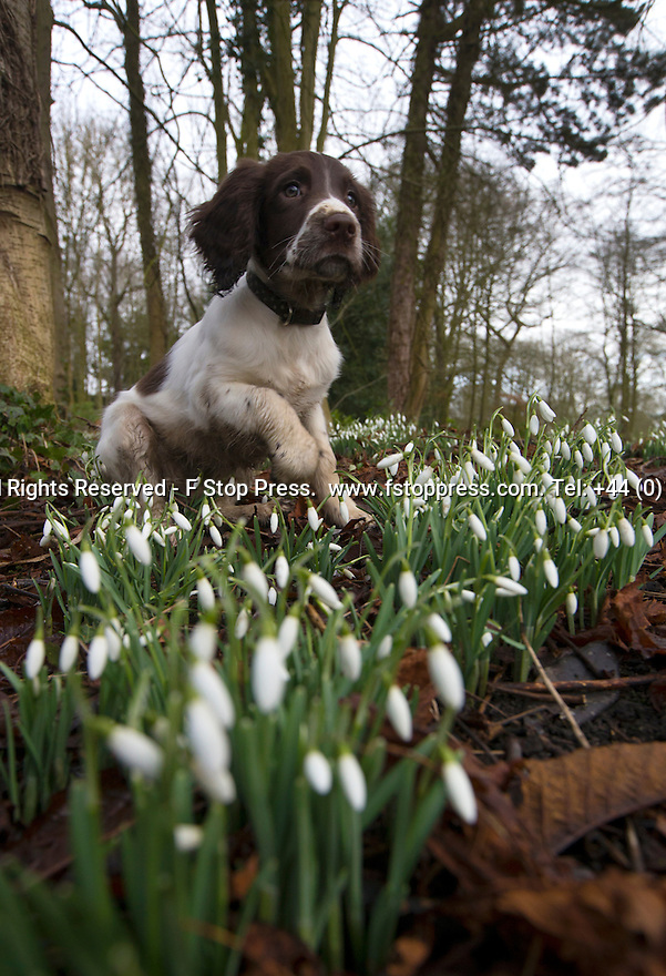 24/01/15<br /> <br /> Three-month-old springer spaniel puppy, Chester plays in  the snowdrops at Hopton Hall, near Ashbourne, Derbyshire.<br /> <br /> <br /> All Rights Reserved - F Stop Press.  www.fstoppress.com. Tel: +44 (0)1335 300098
