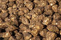 Sugar beet - Lincolnshire, October