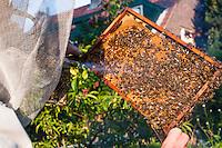 Nederland, Driebergen, 28 mei 2013<br /> Imker verzorgt bijen. Het houden van bijen vergt regelmatig onderhoud om te zorgen dat de bijen honing produceren en het bijenvolk bij elkaar blijft. Tegen het steken heeft een imker een speciaal pak aan en blaast met een speciale pijp rook over de bijen.<br />  <br /> Foto(c): Michiel Wijnbergh