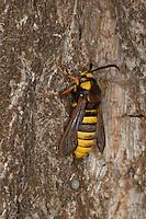 Hornissen-Glasflügler, Bienen-Glasflügler, Hornissenglasflügler, Bienenglasflügler, Hornissenschwärmer, Hornissen-Schwärmer, Großer Pappelhain-Glasflügler, sonnt sich am Morgen am Stamm einer Pappel, Tarnung, erinnert mit seiner Warnfärbung und seinem Verhalten potentielle Beutegreifer an Hornissen und schreckt diese so ab, Kopiert ein Tier durch Farbe, Körpergestalt und Verhalten ein anderes Tier, so spricht man von Mimikry. Sesia apiformis, Aegeria apiformis, Sphinx crabroniformis, Sesia crabroniformis, Hornet Moth, Hornet Clearwing, Glasflügler, Sesiidae