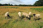 Suffolk Wildlife Trust sheep conservation grazing of heathland, Suffolk Sandlings, near Shottisham, Suffolk, England, UK