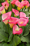 ZANTEDESCHIA REHMANNII 'PILLOW TALK', CALLA LILY