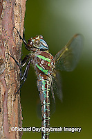 06370-001.19 Swamp Darner (Epiaeschna heros) male perched on branch, Clay Co.  IL