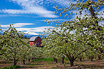 Hood River County, OR       <br /> Pear trees in blossom with red barn and Mt. Hood in the Hood River Valley