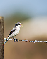 Logerhead shrike perched on a barbed wire fence in Florida with  beak open